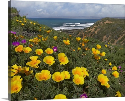 California Poppy (Eschscholzia californica) field, Montano de Oro State Park, California