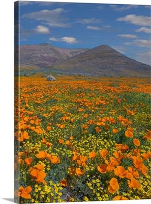 California Poppy Superbloom, Antelope Valley, California