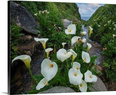 Calla Lilies, Garrapata State Beach, Big Sur, California