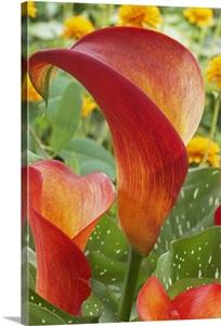 Calla Lily Zantedeschia Sp Captain Safari Variety Flowers Wall Art Canvas Prints