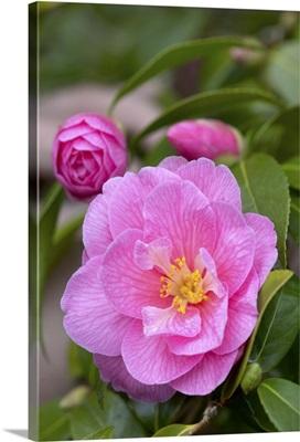 Camellia (Camellia x williamsii) donation variety flower