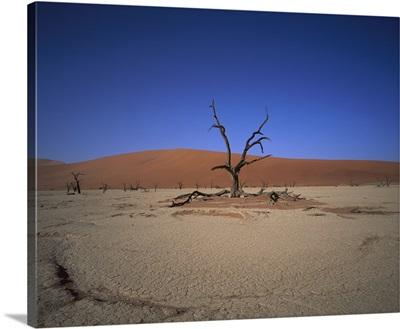 Camelthorn (Alhagi maurorum) snag on desert pan, Namib-Naukluft National Park, Namibia