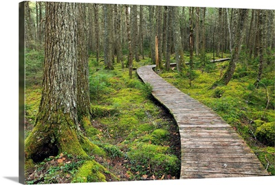 Canadian Hemlock grove with boardwalk, Kejimkujik National Park, Nova Scotia, Canada