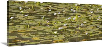 Cape Blue Water-lily flowers, Matopos Hills, Zimbabwe