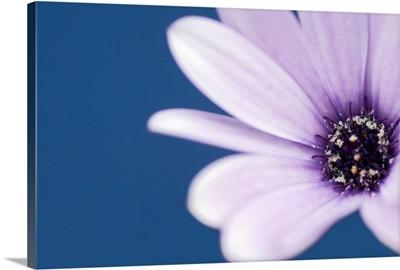 Cape Marguerite Daisy (Osteospermum ecklonis)