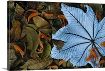Cecropia leaf atop lobster claw petals on tropical rainforest floor, Mesoamerica
