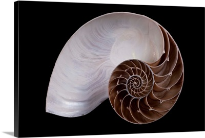 Chambered Nautilus cross-section, Riedenburg, Germany
