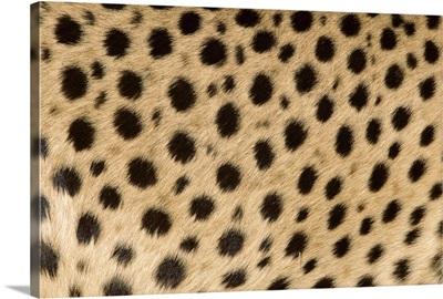 Cheetah (Acinonyx jubatus) close-up of coat showing spots, Africa