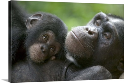 Chimpanzee adult female and infant