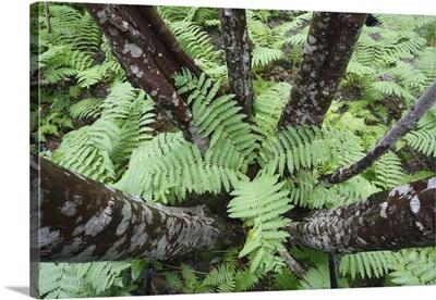 Cinnamon Fern group on forest floor, Canada