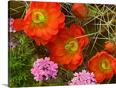 Claret Cup Cactus and Verbena, detail of flowers in bloom, North America