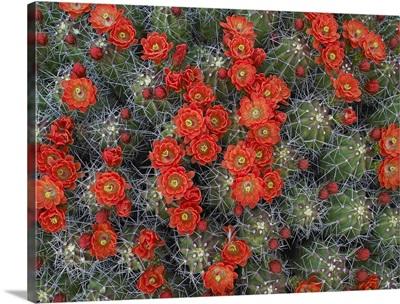 Claret Cup Cactus (Echinocereus triglochidiatus) flowers in bloom
