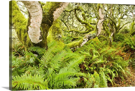 Coast Live Oak trees and Sword Ferns in evergreen forest, California ...