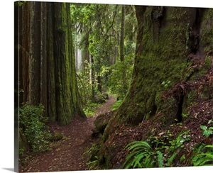 Coast Redwoods And Path Redwood National Park California