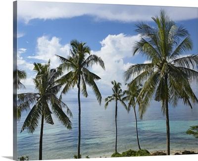 Coconut Palm (Cocos nucifera) trees, Bikini Beach, Panglao Island, Philippines