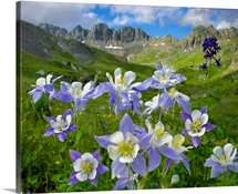 Colorado Blue Columbine meadow at American Basin, Colorado