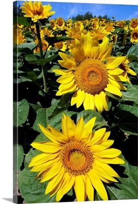 Common Sunflower field in bloom, Hokkaido, Japan