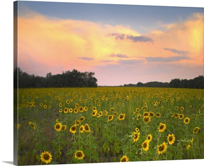 Common Sunflower field near Flint Hills National Wildlife Refuge, Kansas