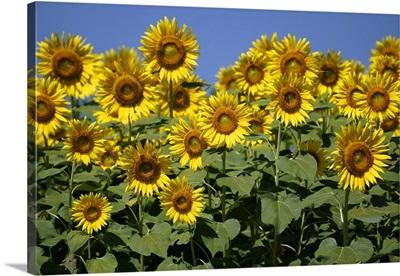 Common Sunflower flowers, Japan