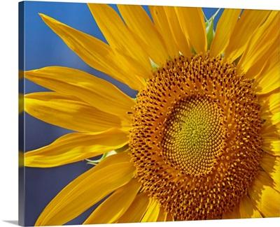 Common Sunflower (Helianthus annuus) flower, North America