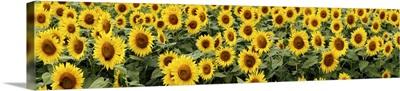 Common Sunflower (Helianthus annuus), Yamanashi, Japan