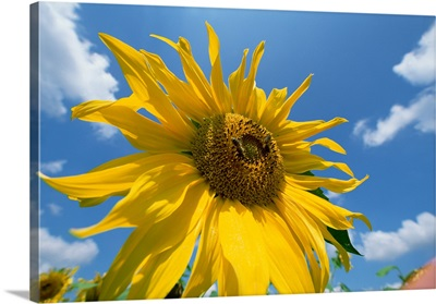 Common Sunflower with blue sky and clouds