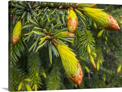Conifer needles emerging, Alaska