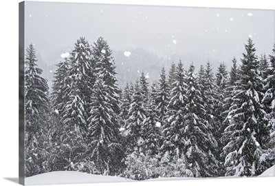 Coniferous forest in winter, Alps, Upper Bavaria, Germany