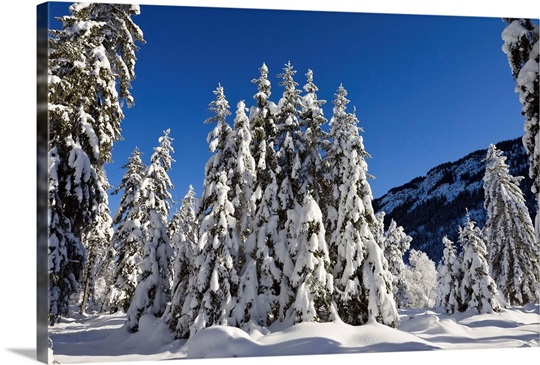 Coniferous forest in winter, Wetterstein Mountains, Alps, Upper Bavaria, Germany