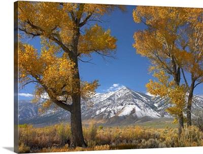 Cottonwood (Populus sp) trees, fall foliage, Carson Valley, Nevada