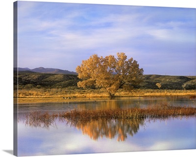 Cottonwood Tree and Sandhill Crane flock, Bosque del Apache, New Mexico
