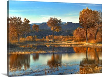 Cottonwood trees and Willows, Bosque del Apache National Wildlife Refuge, New Mexico