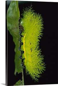 Cup Moth Caterpillar With Poisonous Spines Barro Colorado