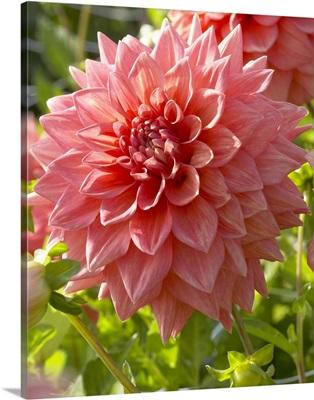 Dahlia (Dahlia sp) beverly fly variety flower