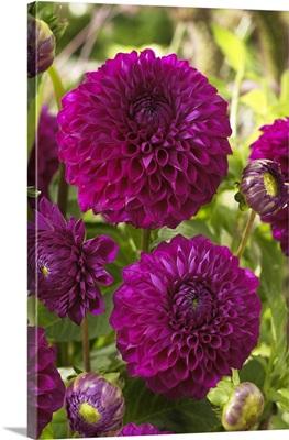 Dahlia (Dahlia sp) boom boom purple variety flowers