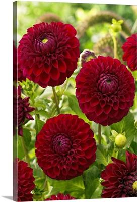 Dahlia (Dahlia sp) boom boom red variety flowers