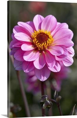 Dahlia (Dahlia sp) classic rosamunde variety flower