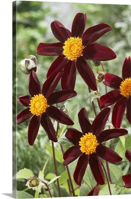 Dahlia (Dahlia sp) honka black variety flowers