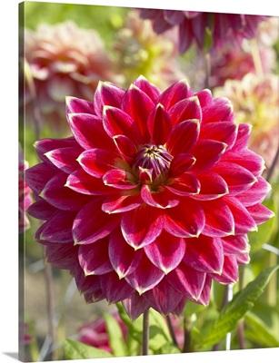 Dahlia (Dahlia sp) optimist variety flower