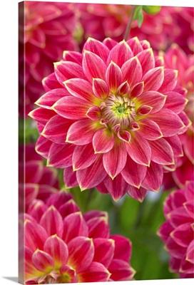 Dahlia (Dahlia sp) optimist variety flowers