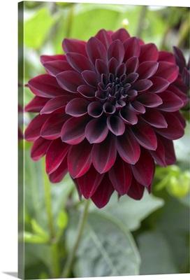 Dahlia (Dahlia sp) ronaldo variety flower