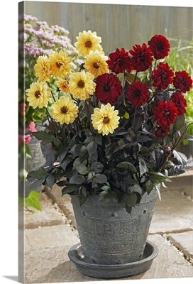 Dahlia (Dahlia sp) yellow chic and chic en rouge varieties flowers