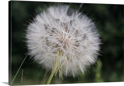 Dandelion seed head, Spruce Woods Provincial Park, Manitoba, Canada