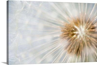 Dandelion seedhead, Noord-Holland, Netherlands