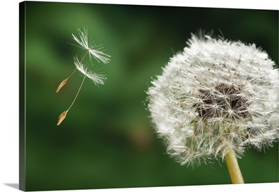 Dandelion seeds being dispersed by wind, Oregon