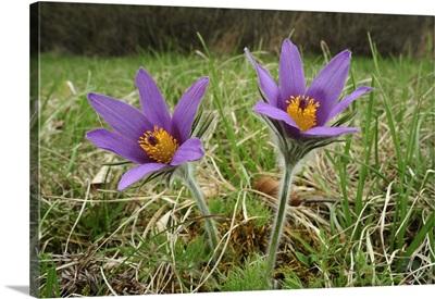 Dane's Blood flowers, Switzerland