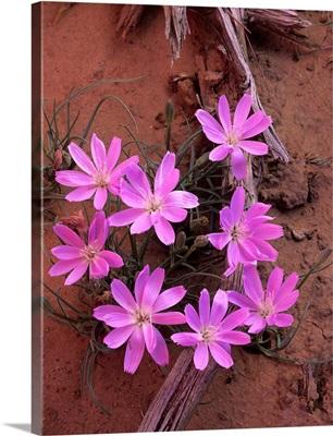 Desert Chicory (Rafinesquia neomexicana) close up of bloom, North America