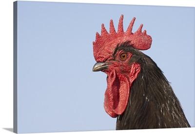 Domestic Chicken - Close-up of cockerel head