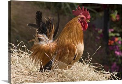 Domestic Chicken, Japanese bantam cock