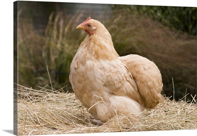 Domestic Chicken, Lemon Pekin Bard hen